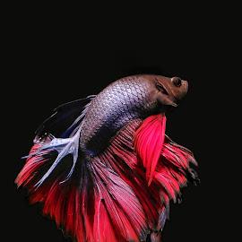 Beta fish  by Feriq Saleh - Instagram & Mobile Android