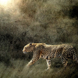 Now You See Me Now You Don't by Bjørn Borge-Lunde - Digital Art Animals ( wild animal, wilderness, big cats, nature, wildlife, africa, leopard, animal )