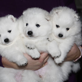 Puppies by Mona Tertnes-Bakke - Animals - Dogs Puppies ( white, puppie, japanese spitz, animal, dog,  )