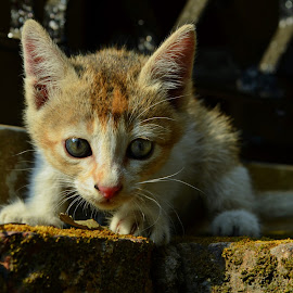 curious by Arnab Bhattacharyya - Animals - Cats Playing