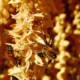 Gold Diggers by Don Bates - Animals Insects & Spiders ( bees, pollen, gold, sunlight, blossom )