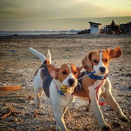 best friends by Lili Screciu - Animals - Dogs Playing ( beagle, playing, sea,  )