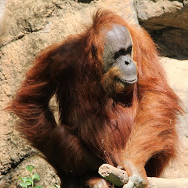 orangutan by Brandon Hunsinger - Animals Other Mammals ( sacramento zoo, orangutan )