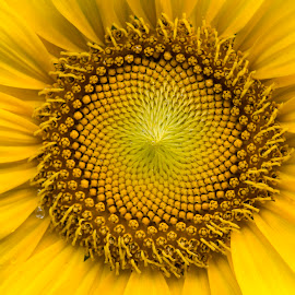 sunflower by Steven Faucette - Flowers Single Flower ( summer, sunflower, yellow )