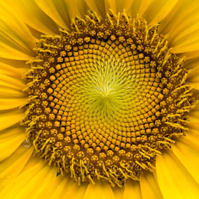 sunflower by Steven Faucette - Flowers Single Flower ( summer, sunflower, yellow,  )