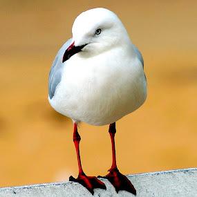 On the Fence by Carleen Corrie - Animals Birds ( bird, sand, seagull, sea, beach )