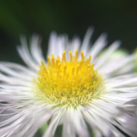 Fleabane by Virginia Howerton - Abstract Macro (  )