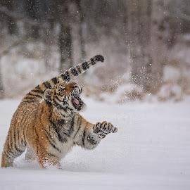 Tiger Ussurian by Jiri Cetkovsky - Animals Lions, Tigers & Big Cats ( wood, tiger, snow, ussurian, care, people )