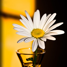 Daisy by Karen Santilli - Nature Up Close Flowers - 2011-2013 ( vase, up close, white, daisy, yellow, flower )