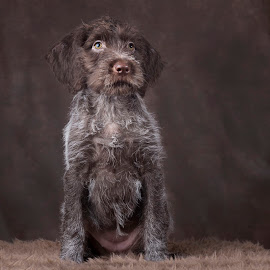 korthals griffon by Anja Voorn - Animals - Dogs Puppies