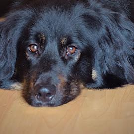 Handsome boy by Daggi Meyer - Animals - Dogs Portraits