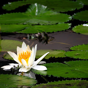The Lotus by Sim  Chee teck - Nature Up Close Flowers - 2011-2013 ( plant, lotus, nature, lanscape, flower )