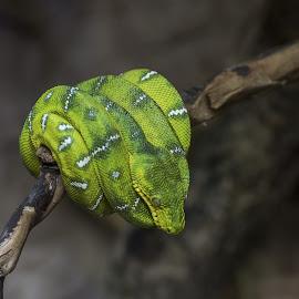 by Sergio Di - Animals Reptiles ( #snake, #animals, #rettili, #animali, #picoftheday, #serpenti )