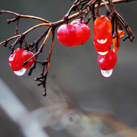by Kathy Kehl - Nature Up Close Natural Waterdrops ( water, water drops, red, rain drops, berries )
