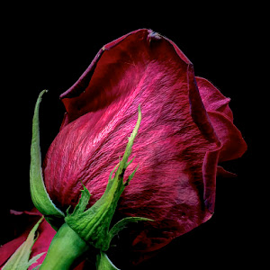 the-underside-of-the-rose (1).jpg