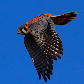 Kestrel by Paul Marto - Digital Art Animals ( birds of prey, wings, falcons, wildlife, kestrel, feathers, birds, raptors, birds in flight )
