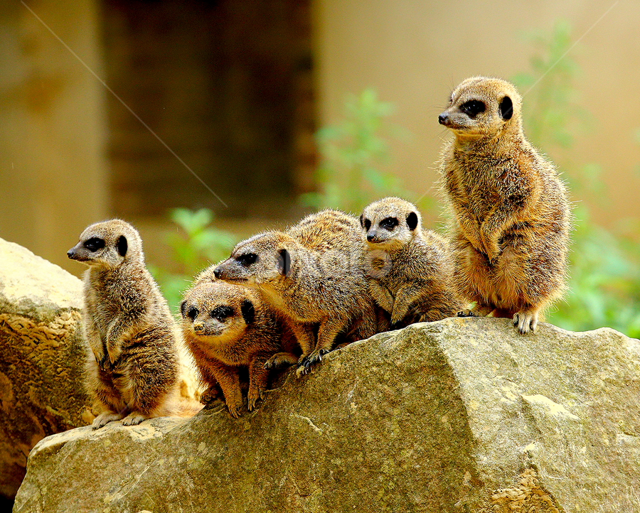 Suricate family by Gérard CHATENET - Animals Other Mammals