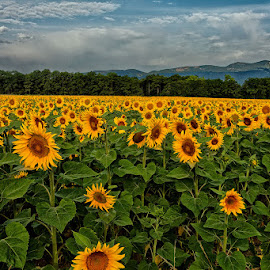 Sunflowers and mountains by Radu Eftimie - Landscapes Prairies, Meadows & Fields ( mountains, sunflower field )