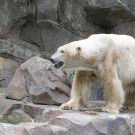 PolarBear by Jeff Lebovitz - Animals Other Mammals ( cincinnati zoo, fierce, poalar bear, white, gray, rocks )