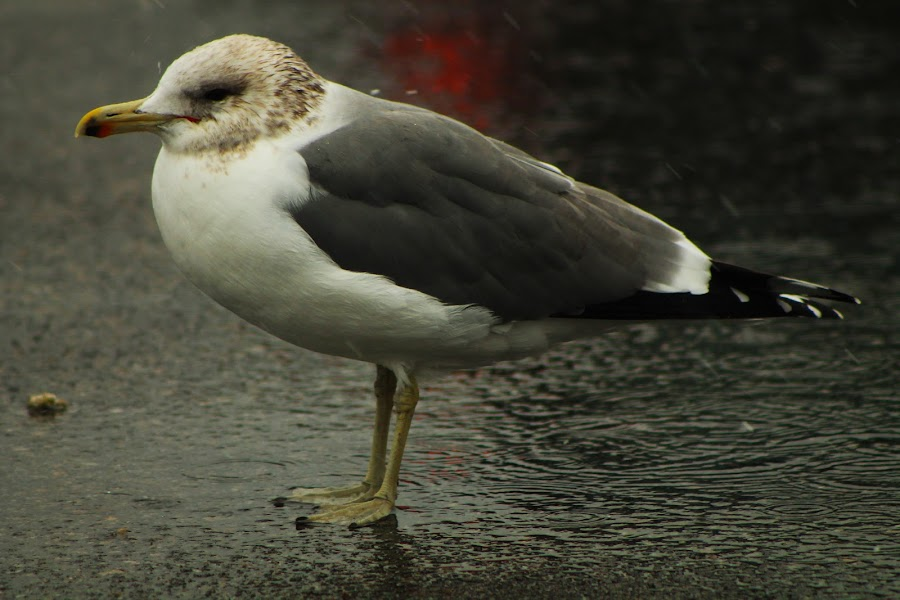 Weathering the Storm by Jay Woolwine Photography - News & Events Weather & Storms ( bird, water, reflection, seagull, puddle, storm, rain, sidewalk )