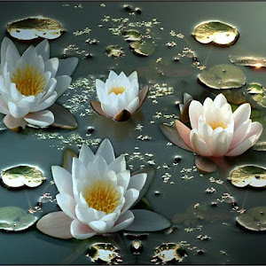 Hardy White Water Lillies.jpg