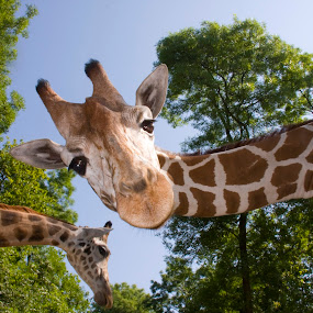 Heads by Lajos E - Animals Other Mammals ( reticulated, giraffa, sky, giraffe, camelopardalis, reticulata, heads, forest, head, woods, portrait,  )