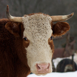 Inscrutable bovine by Rosemary Ashbaugh - Animals Other Mammals