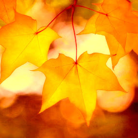 Autumn Sunrise by CLINT HUDSON - Nature Up Close Leaves & Grasses ( warm, autumnal, autumn, gold, sunrise, yellow, golden )