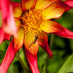 polination by Danny Charge - Nature Up Close Flowers - 2011-2013 ( macro, red, hornet, yellow, flower )