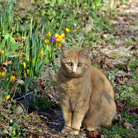 Spring herald  by Ciprian Apetrei - Animals - Cats Portraits ( cat, crocuses, brittany, spring, ginger cat )