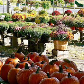 Mums and pumpkins. by Peter DiMarco - Nature Up Close Gardens & Produce ( fall colors, pumpkins, gardens, mums, garden )