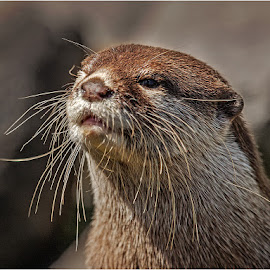 Asian Shortclawed otter by Stephen Hooton - Animals Other Mammals