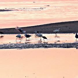 Tangerine Sea by Laura Johnson - Landscapes Beaches ( ocean, beach, sunrise, birds, coast )