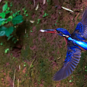 Alcedo meninting Horsfield, 1821 Willy Ekariyono, West Java by Willy Ekariyono - Animals Birds ( wildlife photography, meninting, bird, willy ekariyono, birds, kingfisher, wildlife )