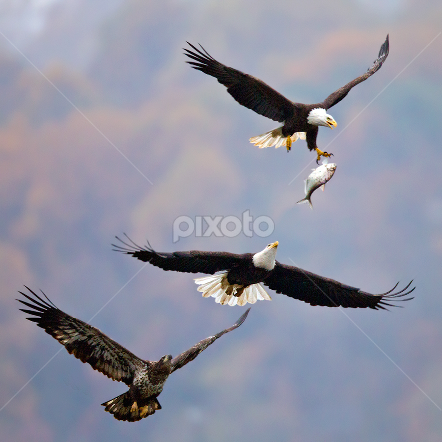by Herb Houghton - Animals Birds ( eagle, bird of prey, bald eagle, raptor, chase, fish chase )