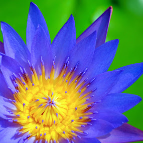 Water Lilly by Kelvin Đào - Nature Up Close Gardens & Produce ( water, purple, yellow, flower, lilly, pwcflowergarden-dq )