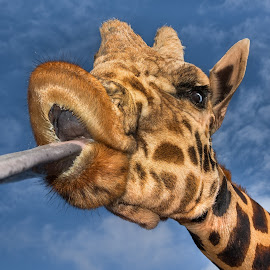 Big Kiss by Joe Neely - Animals Other Mammals (  )