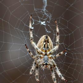 a spiders web by Darren Hammond - Animals Insects & Spiders ( wild, macro, spiders, nature, spiderweb, fangs, arachnid, nature up close, spider, garden, spider web )