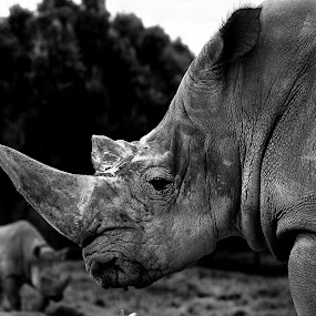 Rino by Cristobal Garciaferro Rubio - Animals Other Mammals ( b/w, mexico, rinos, rino, big animal )