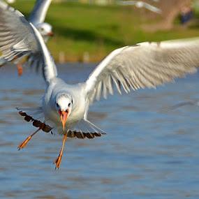 Foooood!!! by Natalie Ax - Animals Birds ( bird, water, flying, seagull, park, nature, lake, animal,  )
