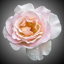 HI rose 72 by Michael Moore - Flowers Single Flower (  )
