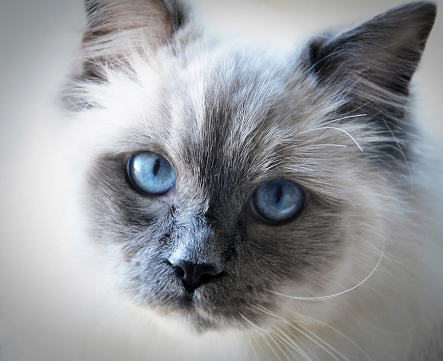 by Adrian Clownerz - Animals - Cats Portraits ( cutest cats )
