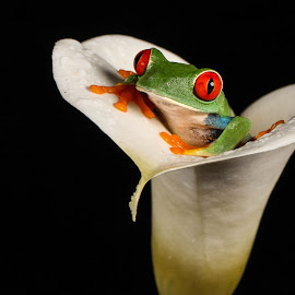 Peekaboo by Garry Chisholm - Animals Amphibians ( garry chisholm, macro, nature, frog, amphibian, wildlife, flower )