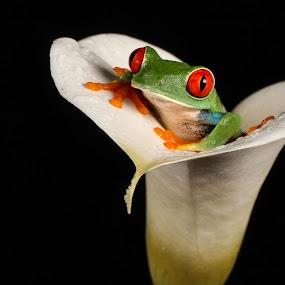Peekaboo by Garry Chisholm - Animals Amphibians ( garry chisholm, macro, nature, frog, amphibian, wildlife, flower )