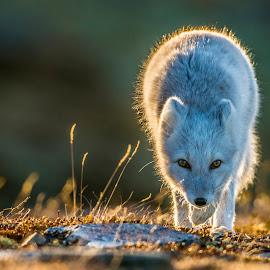 Arctic Fox by Trond Eriksen - Animals Other Mammals ( look, fox, arctic fox, endangered, norway,  )