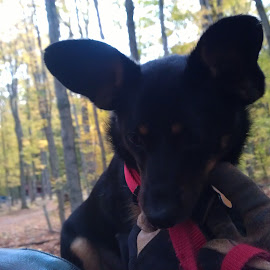Diesels First Horseback Ride by Tina Tippett - Animals - Dogs Puppies ( puppies, animals, dogs or cats,  )