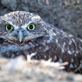 Burrowing owl by Alex Sam - Animals Birds ( bird, owl )
