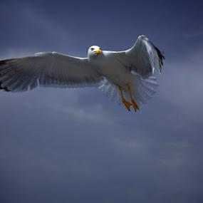 Freedom of seagull. by Aurel Virlan - Animals Birds ( seagull, freedom, fly, birds )