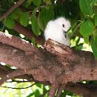 White Tern (Chick)/ manu-o-Ku