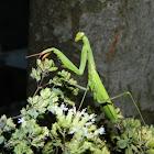 European mantis (male)
